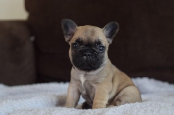 Lil Fawn Frenchie