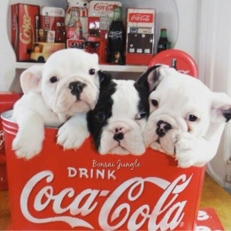 Some of our English Bulldog Puppies