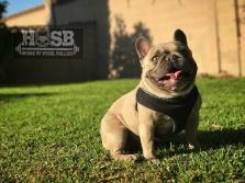 This is Zugor from House of Steel Bullies. He is the Sire to our litter of Blue & Fawns